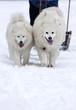 Samoyed dogs - dog sledge