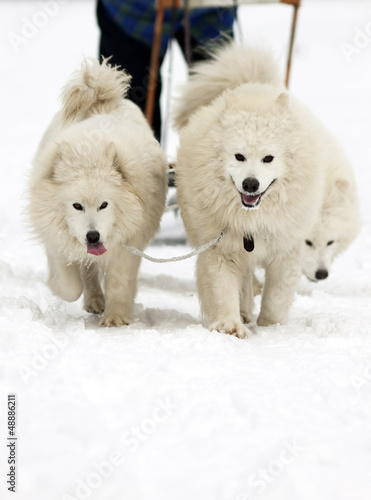 Samoyed dogs - dog sledge