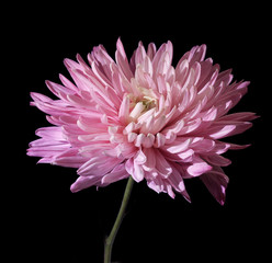 Chrysanthemum under water with air drops on black