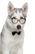 Siberian Husky dog in bow tie and glasses on white background