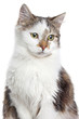 Mixed breed Domestic cat