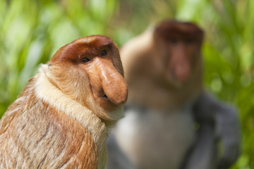 Proboscis monkeys, Sandakan.