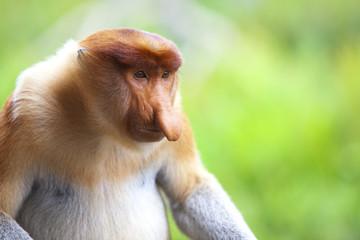 A proboscis monkey, Sandakan.