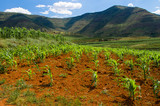 maize (corn) plants growing in Lesotho