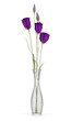 purple eustoma flowers in glass vase isolated on white