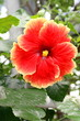 A beautiful red flowering hibiscus flower