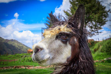portrait of spitting llama