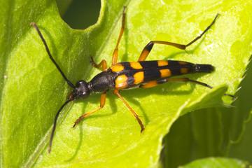 Strangalia attenuata / Capricorn beetle (long-horned)