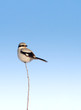 great grey shrike / Lanius excubitor