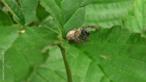 spider with great body sits on a leaf