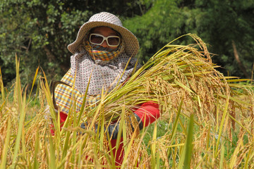 thai woman farmer in the paddy rice field