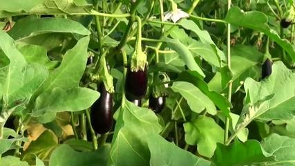 Eggplants grow in the garden