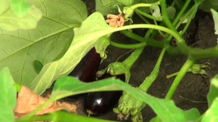 Eggplants grow in the garden