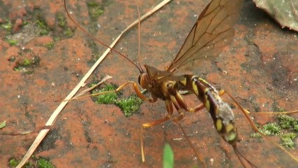 wasp cleaning itself on wood