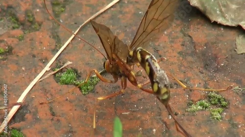 macro footage of a wasp cleaning itself on wood