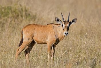Oryx calf; Oryx gazella