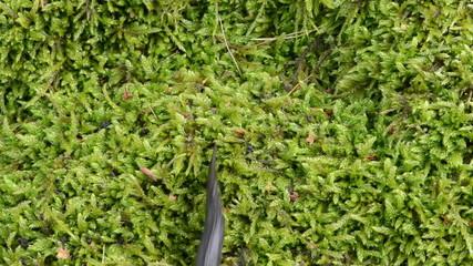 newt triton eft amphibian crawl walk moss
