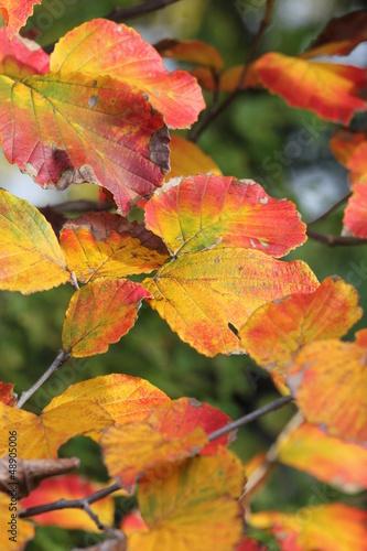マンサクの紅葉