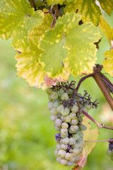 grapes (Weiser Elbling), Germany