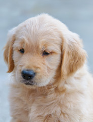 portrait of a golden retriever puppy