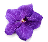 Purple orchid flower, isolated on white
