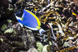 Powder blue tang at Surin national park