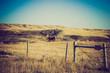 Cows in in a pasture - Drumheller Alberta - LOMO