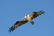 Osprey in Flight on Sanibel Island in Florida