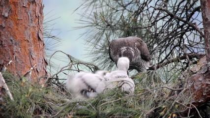Northern goshawk at nest feeding chicks