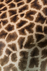 Giraffe hide pattern in Africa, Zambia