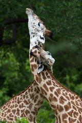 Giraffes courting