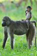 Yellow baboon baby riding mother like a cowboy