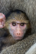 Yellow baboon baby