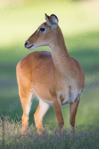 Southern Reedbuck in Africa