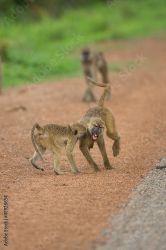 Vervet Monkeys fighting in the street