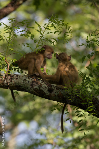 Vervet Monkeys playing in a tree