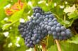 Weinreben hängen im Weinstock