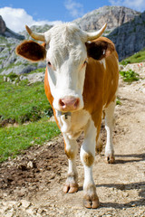 The cow on a pasture in Dolomiti mountain