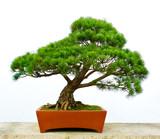 Bonsai pine tree - 48930259