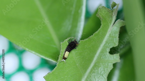 1st instar Tailed Jay Caterpillar eating leaves