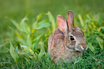 Cottontail bunny rabbit eating grass in the garden