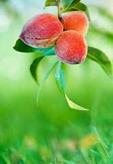 Sweet peaches growing on peach tree