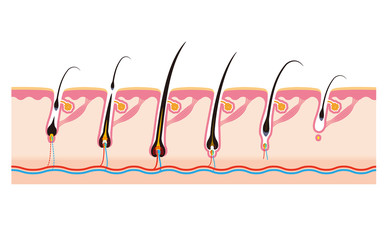 毛周期毛の一生