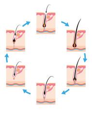 毛周期毛の一生6段階