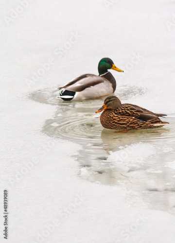 Two ducks in unfrozen patch of water
