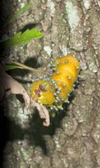 A yellow worm grub caterpillar