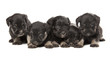 five black puppies of Miniature Schnauzer