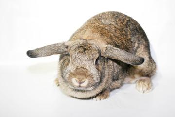 Coniglio nano rex con orecchie abbassate