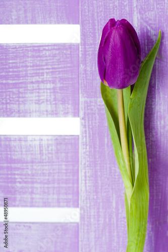 fioletowy-tulipan-lila-tulpe