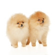 Two Pomeranian Spitz puppies